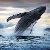 Ballena azul, el gran mamífero cuyo comportamiento permite determinar el estado de salud de los mares