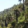 Palma chilena pasa de 120 mil a dos millones y medio de ejemplares