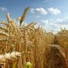 El cambio climático reducirá el rendimiento del trigo, el arroz y el maíz