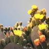 Tuna o Nopal Cactus, el alimento del futuro