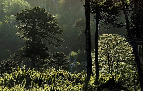 bosque-araucania-0616