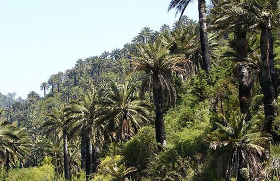 Chile desarrollo sustentable palma chilena pasa de 120 for Poda de arboles zona sur